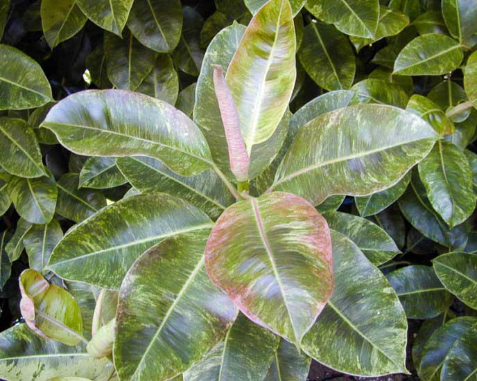 «Эластика Робуста» (Ficus elastica cv. «Robusta»)